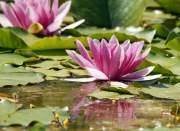 fleur-de-lotus-rose
